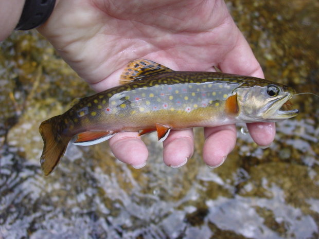 Another wild Brook Trout