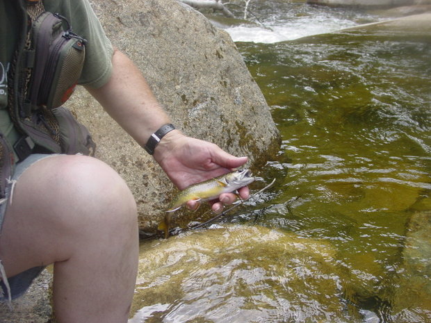 Beautiful wild Brook Trout