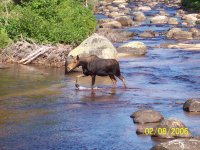My fishing partner was nice enough to call this cow moose in to with in 25 yards, right across the river from us. I was getting ready to retreat when she turned back up stream  towrds her calf.